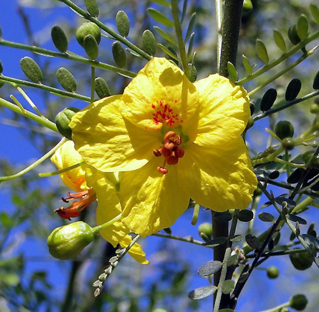 Palo verde tree flower 02